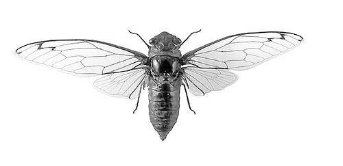 cicada-by-moochy-on-flicker-dot-com