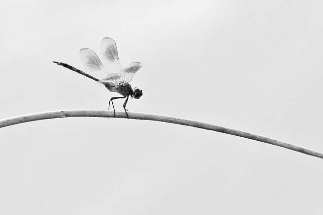 dragonfly-four-spot-BW-20160821