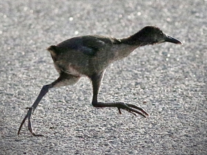 clapper-rail-chick-crop-05-25-2015