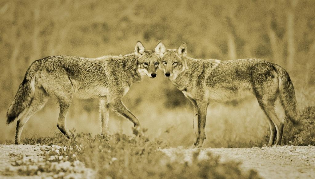 coyote-sepia-sm