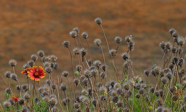 flower-seedsballs